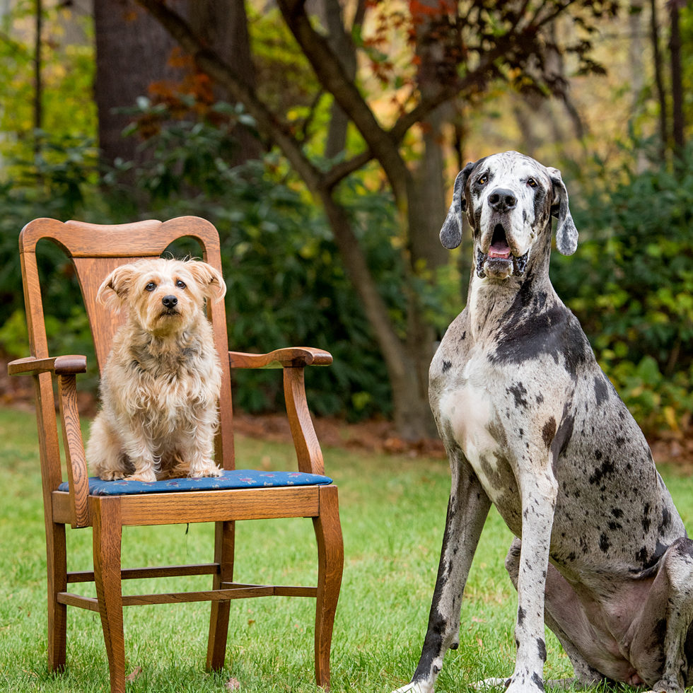 Great dane & Yorkie photography. Big dog little dog